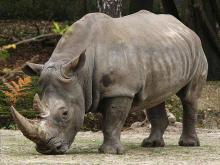 В Одесском зоопарке праздник носорога пройдет без носорога