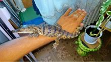 В Белгороде-Днестровском Одесской области поймали сбежавшего крокодила